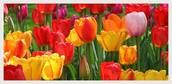 Reason 2: Tulips