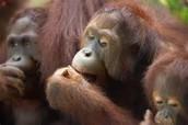 Orangutan Group