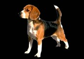 Top Champion beagle of the Bloodline