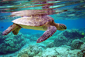 What Are Green Sea Turtle