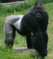 This really BIG Gorilla
