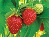 Origin of the strawberry