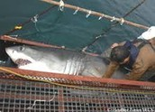 Great White Sharks killed in New Zealand