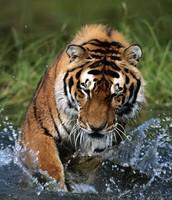 Adult siberian tiger