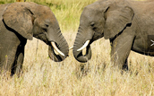 These are two males fighting for a female asian elephant.