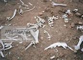 os d'un animal