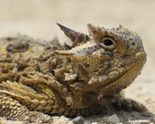This Texas Horned Lizard is hunting.