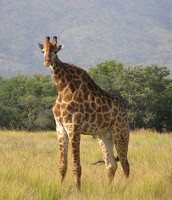 Short Necked Giraffes