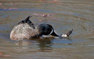 Blue-Winged Teal in water