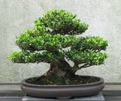 What is a Bonsai Tree