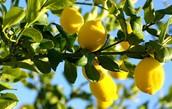 Lemon Tree, California