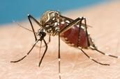 Mosquito with Dengue Fever
