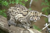 I is for Iriomote Cats
