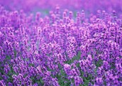 The importance of the lavender flower