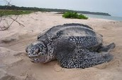 A leatherback turtle on shore