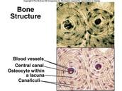 Bone- Hard, Rigid
