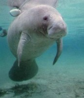 Western Indian Manatee