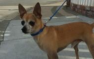 Afleet Alex -- 6 yr old Chihuahua -- 6 lbs