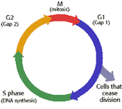 Unit 5: The Cell Cycle and Mitosis