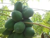 Papaya fruit bearing on farm