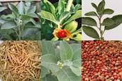 Triphala - quite helpful natural herb