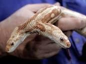 polycephaly snake