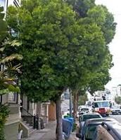 African Fern Pine