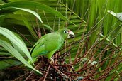 Aparrot that lives in the El YunQue Rainforest.