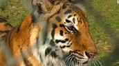 tiger belong in the wild