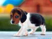 I Love Beagles!!