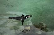 How fast can a Magellanic penguin swim?