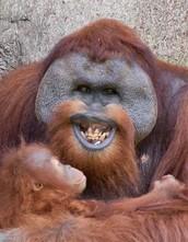 Hoe worden apen getraind via operante conditionering?
