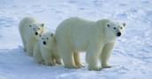 Características e información del Oso polar-Ursus maritimus