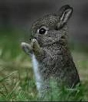 What is the size of an adult bunny?