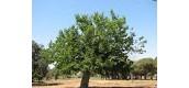 קצת מידע על עץ התות: