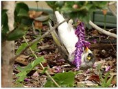 A little cute noisy miner girl bird