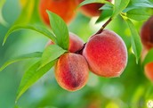 Visit our peach farm on the outside of town to have a taste of these great peaches.