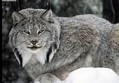 About a Canadian Lynx