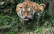Tigers crouch low to get the maximum amount of force and speed