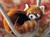 Red Panda sitting in the tree