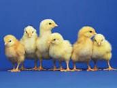 Chick Cam