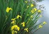 Yellow flag iris(group)