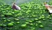 Apariencia de las Algas