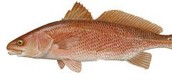 state fish: red drum