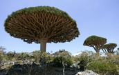 the Socotra tree