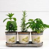 Classic Herb Trio in Botanical Design Pots