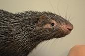 Animal Encounters: Prickly Porcupines