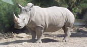 Picture of white rhinoceros