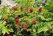 Rubus Hillii (Raspberry)