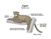 Diagram of a jaguar